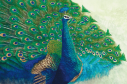 LIN - Peacock