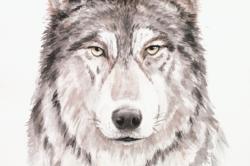 KOSTKA - Sibirischer Wolf